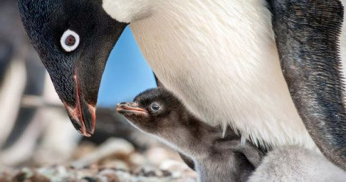 Penguins Trailer 2 Follows Disneynature's Real-Life