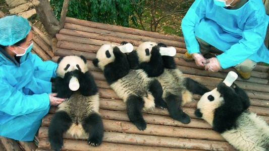 The Trailer for IMAX Original Film Pandas is Unbearably Adorable